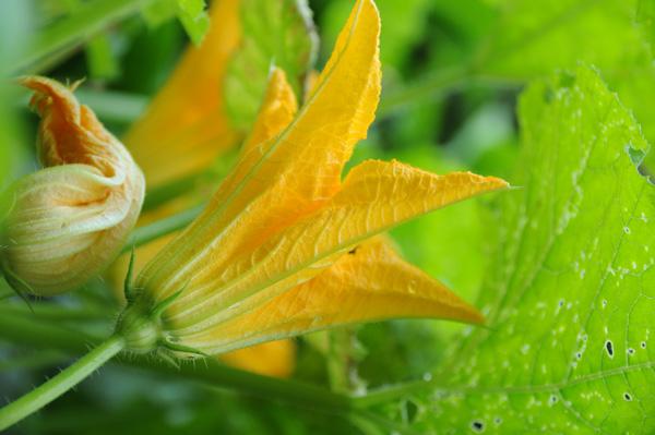 Fritterte Squash-blomster